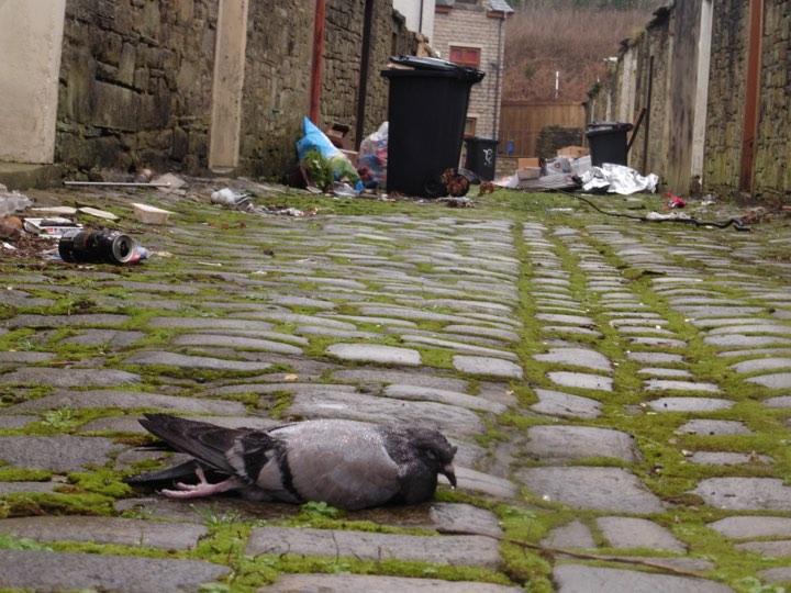 pigeon dead